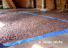 le cacao sèche grivelière
