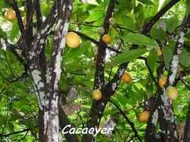 cacaoyer jardins guadeloupe