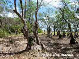 cachiman cochon, arbre, trace 36 mois, basse terre, guadeloupe