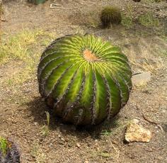 cactus terre de haut guadeloupe
