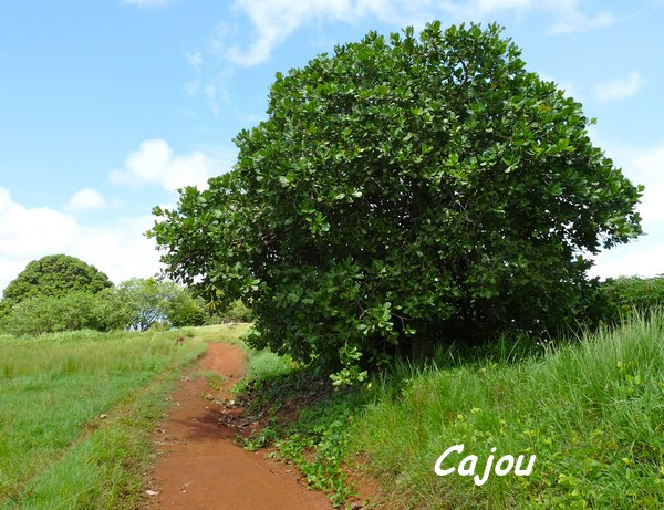 Cajou, Anacardium occidentale, Pointe à Bacchus