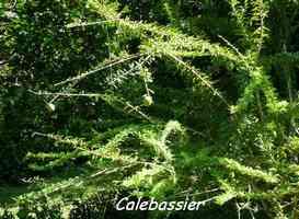 calebassier, Crescentia cujete, arbre, Trace du Prince, guadeloupe