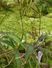 calumet, herbacée, soufrière, basse terre Guadeloupe