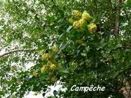 campeche, A Laborde