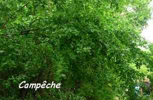 Haematoxylon campechianum, Campêche,Poyen