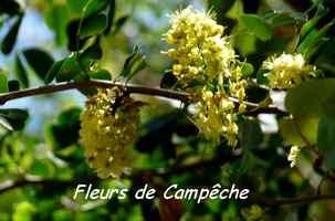campeche, fleur TGT2, grande terre, guadeloupe