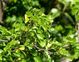 campêche, arbuste, mahaudière, anse bertrand, grande terre, Guadeloupe