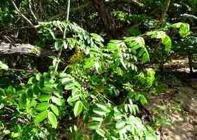 Canique, caesalpinia bonduc, Port Louis, grande terre, guadeloupe