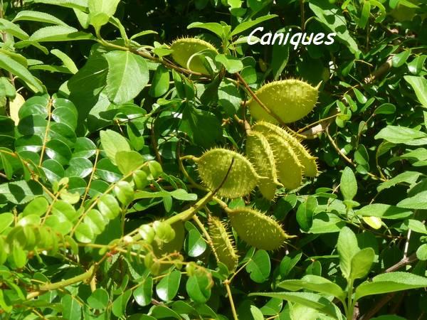 Caesalpinia caniques fruits L