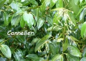 cannelier plante aromatique guadeloupe