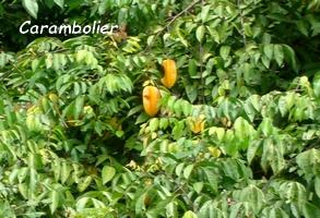 carambolier jardins Guadeloupe