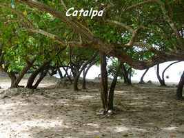 Catalpa, Thespesia populnea, Petit Havre