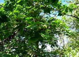 catalpa, Thespesia populnea, arbre, Port Louis, grande terre, guadeloupe