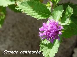 Grande centaurée, Centratherum punctatum, TdeH; les saintes