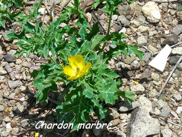 Chardon marbré, Argemone mexicana, les Saintes