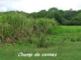 Champ de cannes, Saccharum officinarum, Poyen