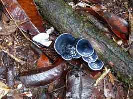 champignon, trois cornes, nord basse terre, guadeloupe