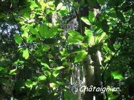 chataignier, arbre, bras de fort, goyave, guadeloupe