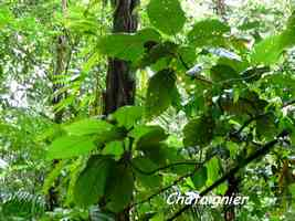 chataignier,Sloana dentata , chutes moreau, goyave, basse terre nord, guadeloupe