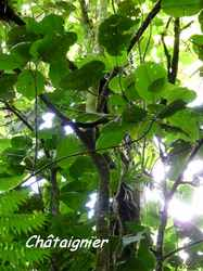 chataignier, arbre, trace contrebandiers, basse terre nord, guadeloupe
