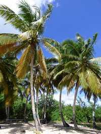 cocotier, Coco nucifera, plage anse sable, port louis , grande terre, guadeloupe