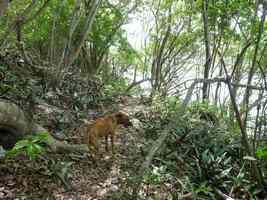 sentier et chien, littoral saline-pt havre, Guadeloupe