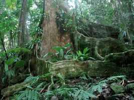 contreforts, acomat, arbre, bras de fort, guadeloupe
