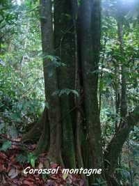 corossol montagne,Guatteria caribaea, , trace 36 mois, ste rose, basse terre, guadeloupe