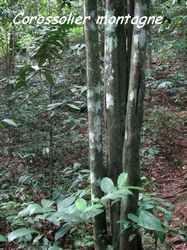 corossol, arbre, bras de fort, goyave, guadeloupe