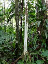 Bois Côtelette blanc, Miconia mirabilis, Contrebandiers, Guadeloupe