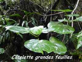 Graffenridia latifolia, Côtelette grandes feuilles, Piton de Bouillante