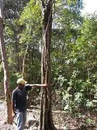 Bois cotelette, terre de bas, Guadeloupe