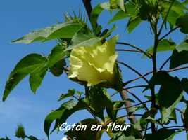 coton fleur, TGT, grande terre, guadeloupe