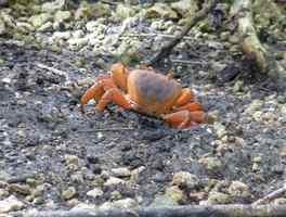 crabe de terre, littoral gosier, saline-pt havre, guadeloupe