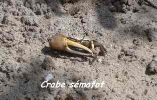 crabe sémafot, Ravine NW Moule