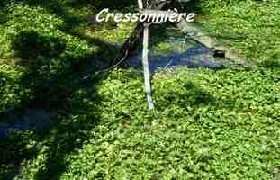 cressonnière, TGT, grande terre, guadeloupe