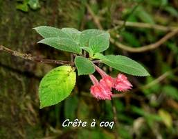 crête a coq, Alloplectus cristatus, liane, soufrière, guadeloupe