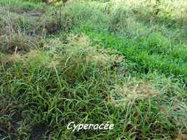 cyperacée, Cyperus rotundus, Madame