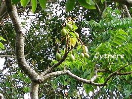 cythère jardins guadeloupe
