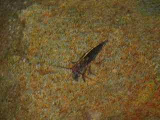 cacador crevette rivière foret tropicale humide antilles
