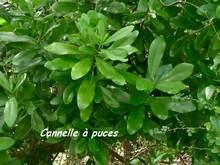 Canella winterana,rivière audouin, moule, guadeloupe, antilles