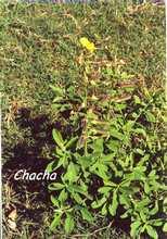 Crotalaria retusa, rivière audoin, moule, guadeloupe, antilles