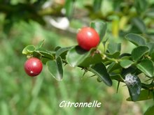 Triphasia trifolia, rivière audoin moule, guadeloupe, antilles