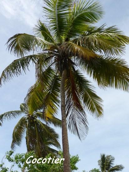 Cocotier coco nucifera palmier foret littorale guadeloup - Palmier cocotier ...
