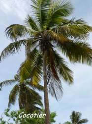 Cocos nucifera, st felix, grande terre, guadeloupe