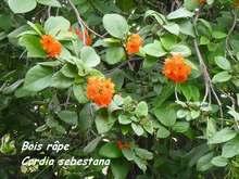 balade, désirade; arbre, iles de guadeloupe, antilles
