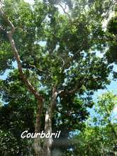 balade terre de bas, arbre, les saintes, iles guadeloupe, antilles