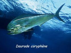 poisson, pelagos, ecosysteme marin, guadeloupe, antilles