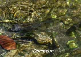 dormeur, poisson, TGT J1, grande terre, guadeloupe