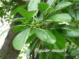 Ficus insipida, Figuier maudit, Poyen